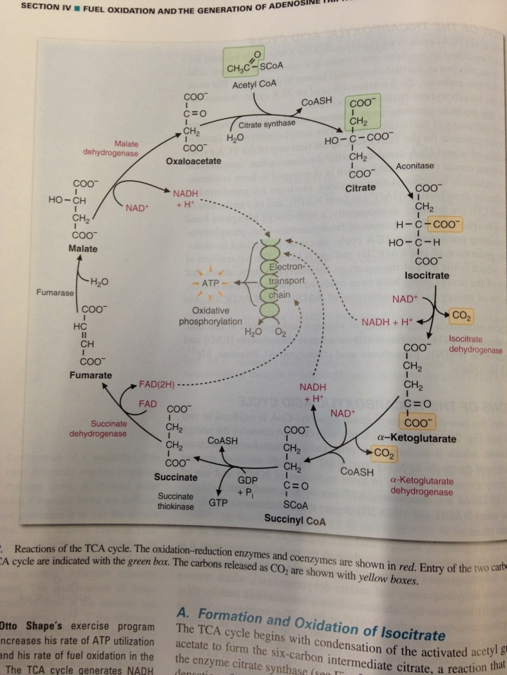 A little TCA cycle, anyone?