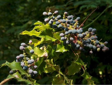 ber_aqu_jko_062508_oregon_grapecroppedsm1